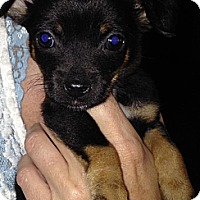 Adopt A Pet :: Raven - chorkie pup! songbirds - Phoenix, AZ