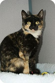 Domestic Mediumhair Kitten for adoption in Kinston, North Carolina - Chantilly