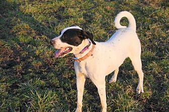 Pointer/Labrador Retriever Mix Dog for adoption in st. jacob, Illinois - Indy