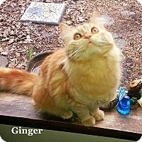 Adopt A Pet :: Ginger - Bentonville, AR