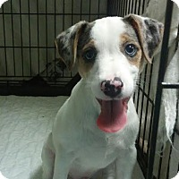 Adopt A Pet :: Frankie Blue Eyes - House Springs, MO