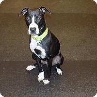 Adopt A Pet :: mia - Jupiter, FL