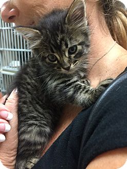 Maine Coon Kittens For Sale Seattle Tilly   Adopted Kitten...