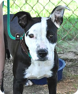 American Pit Bull Terrier Mix Dog for adoption in Colonial Heights animal shelter, Virginia - Camry