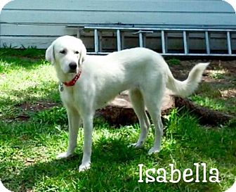 Great Pyrenees/Labrador Retriever Mix Dog for adoption in Enfield, Connecticut - Isabella