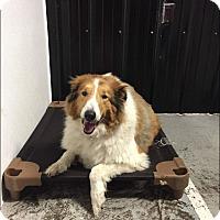 Adopt A Pet :: Lassie - Chippewa Falls, WI