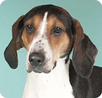 Coonhound Dog for adoption in Chicago, Illinois - Ruthie