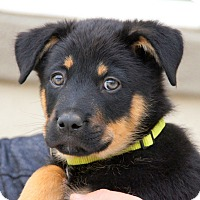 German Shepherd Dog Mix Puppy for adoption in Thousand Oaks, California - Melbourne von Portia