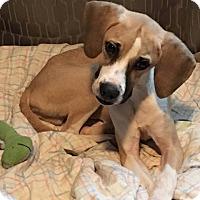 Adopt A Pet :: Teddie - METAIRIE, LA