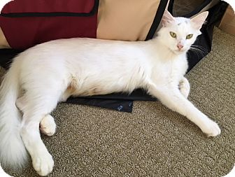 Turkish Angora Cat for adoption in Garland, Texas - Precious