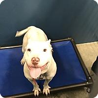 Adopt A Pet :: Lola - Henderson, NC