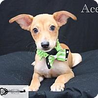 Shepherd (Unknown Type) Mix Puppy for adoption in DeForest, Wisconsin - Ace