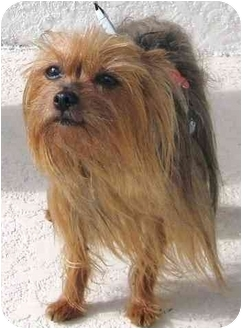 Yorkie, Yorkshire Terrier Dog for adoption in Hardy, Virginia - Penny