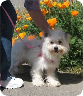 Maltese/Yorkie, Yorkshire Terrier Mix Dog for adoption in Davis, California - Mindy