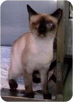 Siamese Cat for adoption in Makawao, Hawaii - Ari