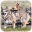Photo 2 - German Shepherd Dog/Husky Mix Dog for adoption in Hamilton, Montana - Solo