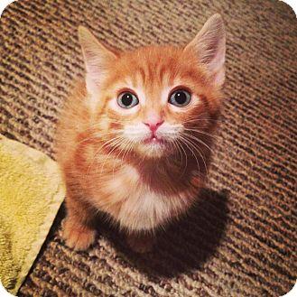 Domestic Shorthair Kitten for adoption in Chicago, Illinois - Graham