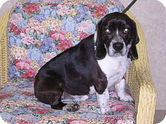 "Beagle Mix Dog for adoption in New Castle, Pennsylvania - "" Rudy """