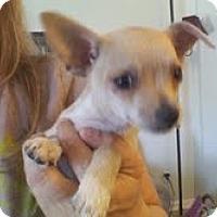 Adopt A Pet :: Stitch - CHESTERFIELD, MI