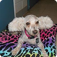 Adopt A Pet :: Blossom - Lockhart, TX