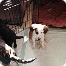 Adopt A Pet :: Haylie