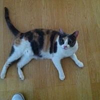 Calico Cat for adoption in Midway City, California - Kitty