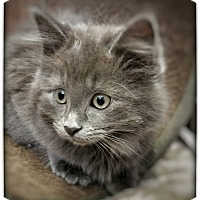 Adopt A Pet :: Kittens in Oberlin - Oberlin, OH