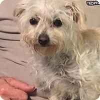 Adopt A Pet :: Little Miss - Costa Mesa, CA