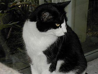 Domestic Shorthair Cat for adoption in Bonita Springs, Florida - Sadie