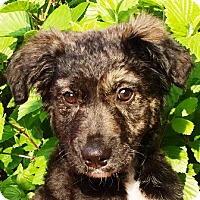 Adopt A Pet :: Sable - Oswego, IL