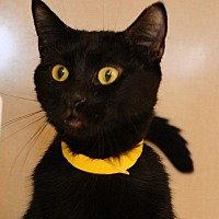 Domestic Mediumhair Cat for adoption in Oakland Park, Florida - Nori