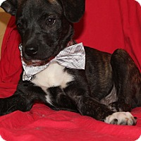 Shepherd (Unknown Type)/Boxer Mix Puppy for adoption in Hagerstown, Maryland - Basil