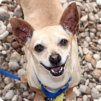 Chihuahua Mix Dog for adoption in Austin, Texas - Campion