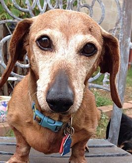 Dachshund Dog for adoption in Pearland, Texas - Rosie
