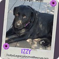 Labrador Retriever Dog for adoption in Lincoln, Nebraska - IZZY