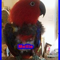 Adopt A Pet :: Mellie - Tampa, FL