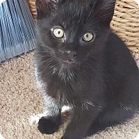 Adopt A Pet :: Boo Bear-Adoption Pending! - Colmar, PA