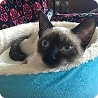 Siamese Cat for adoption in Los Angeles, California - Rose
