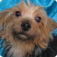 Adopt A Pet :: Casey Yorkie - Cuba, NY