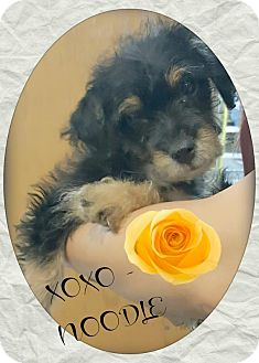 Yorkie, Yorkshire Terrier/Poodle (Miniature) Mix Puppy for adoption in Los Angeles, California - Noodle