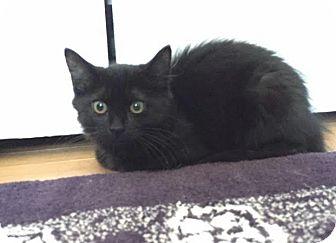 Domestic Shorthair Cat for adoption in Boston, Massachusetts - Chelsea