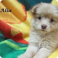 Adopt A Pet :: Alia - Bartonsville, PA