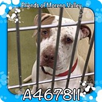 Pointer/American Pit Bull Terrier Mix Dog for adoption in San Bernardino, California - URGENT IN MORENO VALLEY! FREDO