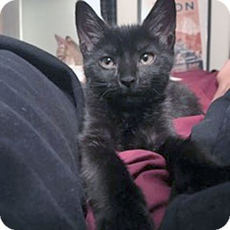 Domestic Mediumhair Kitten for adoption in Mississauga, Ontario, Ontario - Victory