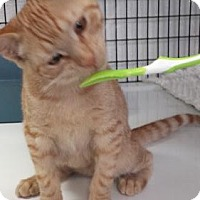Adopt A Pet :: Pumpkin (kitten) - Lawrenceville, NJ