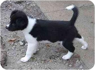 Border Collie Puppy for adoption in Tiffin, Ohio - CobbF2