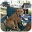 Photo 1 - American Pit Bull Terrier/Labrador Retriever Mix Dog for adoption in Sherman Oaks, California - Precious