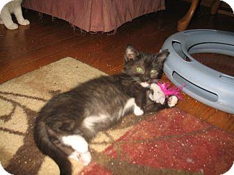 Domestic Shorthair Kitten for adoption in Acme, Pennsylvania - Crystal