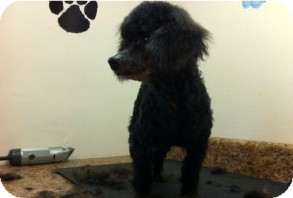 Poodle (Miniature) Dog for adoption in Danbury, Connecticut - Briar