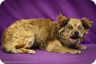 Sheltie, Shetland Sheepdog/Dachshund Mix Puppy for adoption in Broomfield, Colorado - Skyy